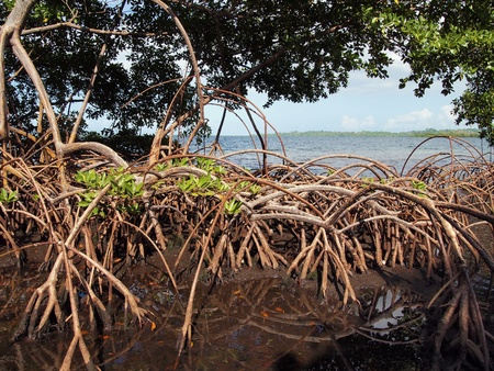 mangrove: Mangrove view with low tide