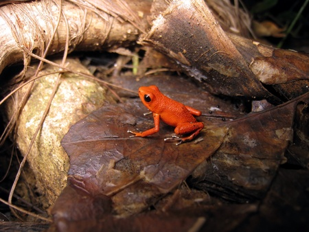 strawberry frog: Famous strawberry poison-dart frog, endemic to Bocas del Toro, Panama Stock Photo