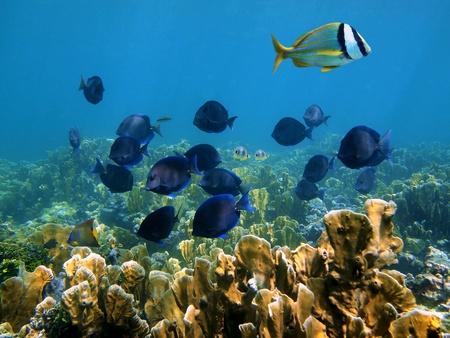 tang: Coral reef with tropical fish, Caribbean, Mayan Riviera, Mexico Stock Photo