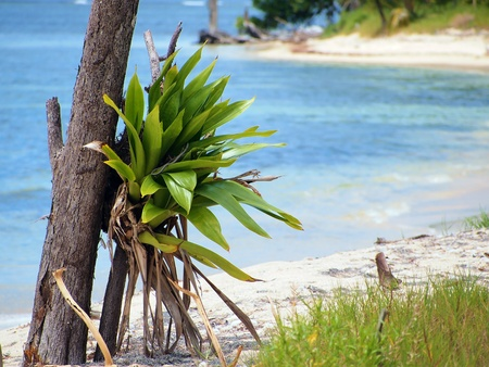 epiphyte: Epiphyte on the beach with Caribbean sea in background, Costa Rica