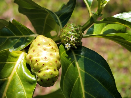 noni: Fruits and flowers of Morinda Citrifolia commonly called Noni, Caribbean, Costa Rica