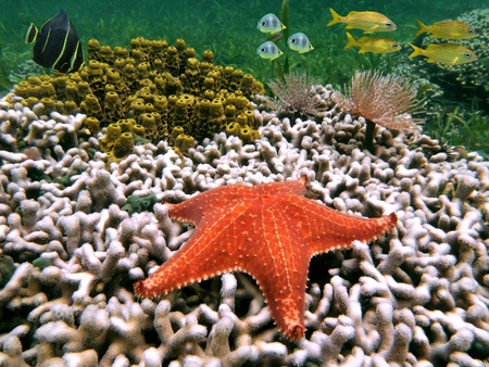 Sea star with white coral, yellow tube sponges and colorful tropical fish, Caribbean sea photo