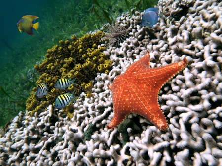 Starfish with white coral, yellow tube sponges and colorful tropical fish, Caribbean sea photo