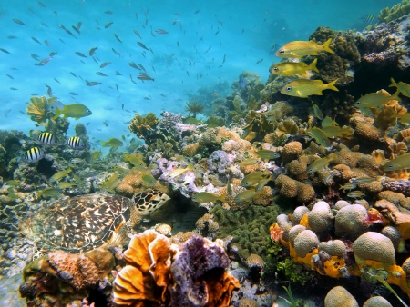 martinique: A green sea turtle in the corals with school of colorful tropical fish