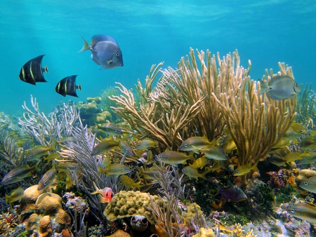 Coral reef with tropical fish and a big gorgonian photo
