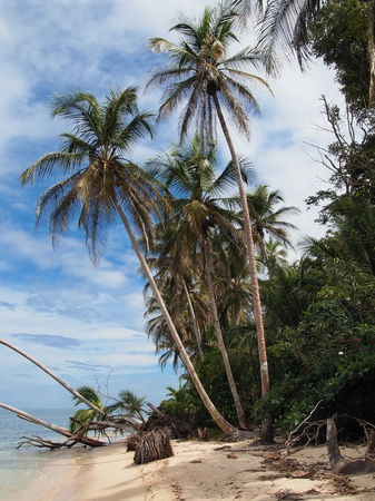 Coconuts trees on the beach,Caribbean, Costa Rica Stock Photo - 11095760