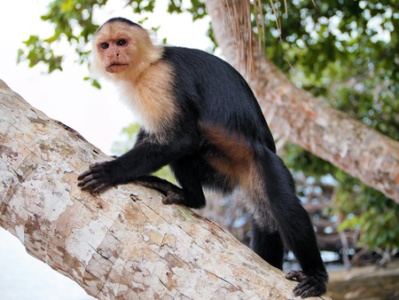 White-faced capuchin monkey on coconut tree, national park of Cahuita, Caribbean, Costa Rica Stock Photo