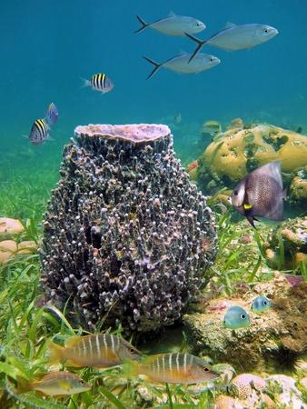 Giant barrel sponge Xestospongia muta with school of tropical fish, Caribbean Stock Photo - 11151956