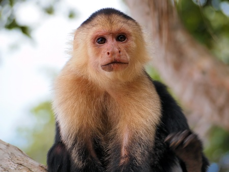 faced: Head of White-faced capuchin monkey, national park of Cahuita, Caribbean, Costa Rica