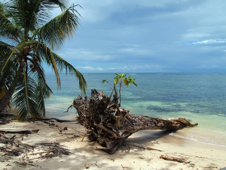 Trunk on the beach with noni tree on top,  national park of Cahuita, Caribbean, Costa Rica photo