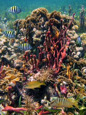 Colony of corals with tropical fish, Caribbean, Mayan Riviera, Mexico photo