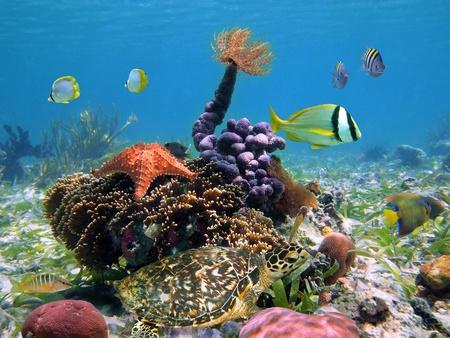 fondali marini: Tartaruga verde con la colorata vita marina tropicale, in una scogliera di corallo, Caraibi, Bocas del Toro, Panama