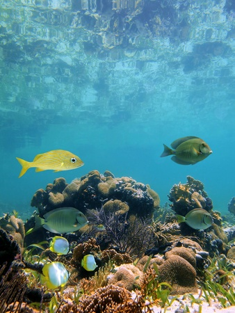 Below the mirror surface of a clear caribbean lagoon lies a thriving coral garden with tropical fish, Mayan Riviera, Mexico photo
