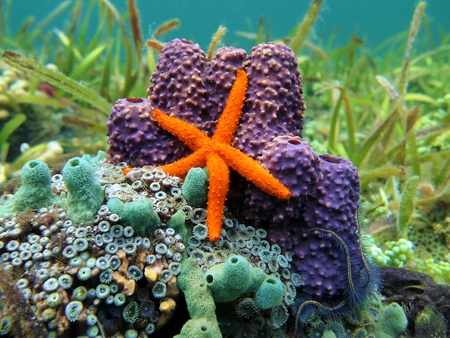 Comet sea star with purple and turquoise tube sponge, Caribbean sea Stock Photo