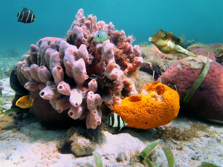 cayman islands: Colorful tropical fish and sea sponges in a Caribbean coral reef Stock Photo