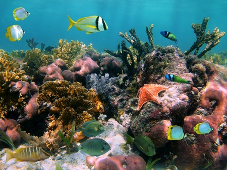 cayman islands: Colorful tropical fish and a starfish in a Caribbean coral reef