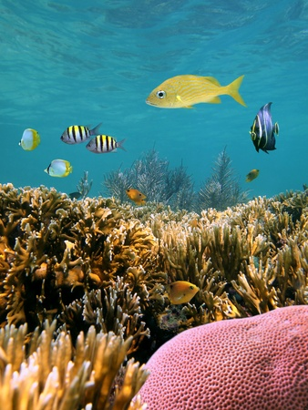 Beautiful coral reef with tropical fish in the Caribbean sea photo