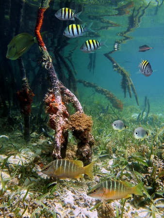 Surface and underwater view in the mangrove with tropical fish, Caribbean sea photo