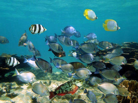 colorful fish: Colorful shoal of tropical fish in a coral reef, Caribbean sea Stock Photo