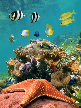 cayman islands: Starfish with school of tropical fish in a coral reef, Caribbean Stock Photo