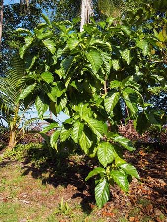 morinda: Noni tree Morinda Citrifolia, Caribbean, Costa Rica