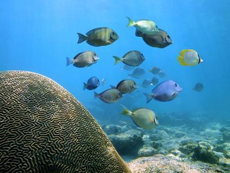 El buceo en el mar Caribe con el coral cerebro y un banco de peces cirujano Foto de archivo