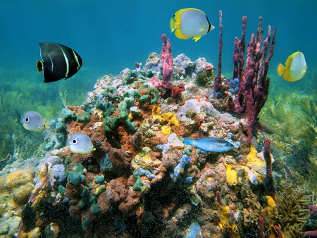 Underwater life with colorful sea sponges and fish in a reef,Caribbean sea photo