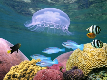 Moon jellyfish with tropical fish and corals in the caribbean sea, Stock Photo