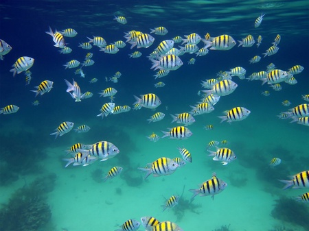 Snorkeling in the Caribbean sea with a shoal of  Sergeant Major fish