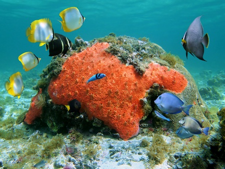 Sealife in the Caribbean sea with colorful tropical fish, red sponge and coral in shallow water photo