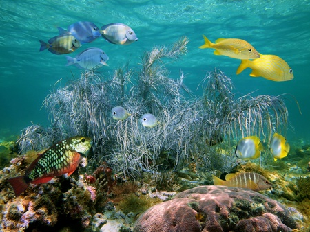 Snorkeling on a coral reef with colorful tropical fish and a big gorgonian, Bahamas