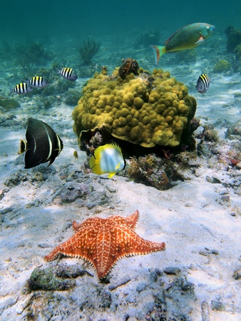guadeloupe: Starfish with school of tropical fish in a coral reef, Caribbean sea