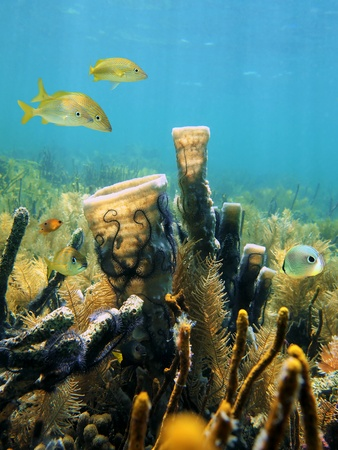 Tube sponges on a coral reef with Brittle stars and tropical fish, Caribbean sea photo