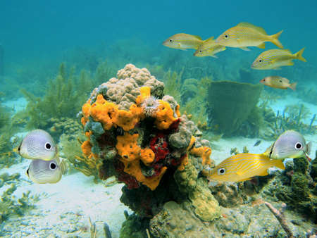 Scuba diving in the Caribbean sea with colorful sealife photo