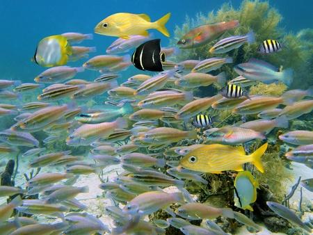 School of kleurrijke tropische vissen in de Caribische zee