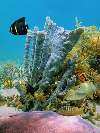 Seabed in the Caribbean sea with tropical fish, coral and tubesponges photo