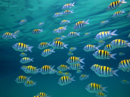 school of fish: School of Sergeant-major fish with water surface in background, Caribbean sea