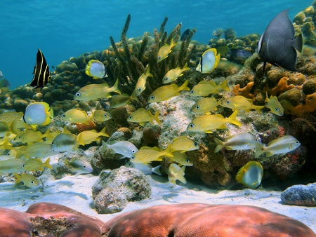 Coral reef with school of tropical fish in the Caribbean sea Stock Photo - 13081886