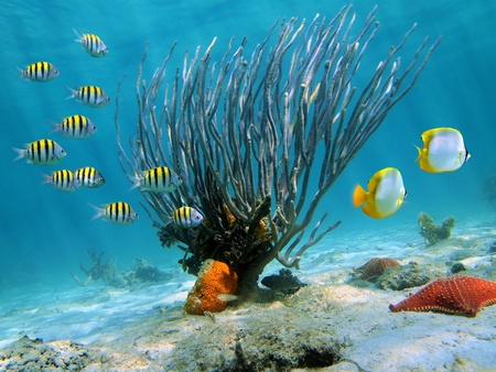 catalina: Sea fan on sandy seabed with colorful fish Stock Photo