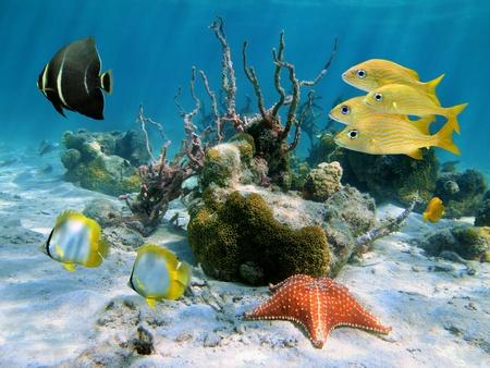 estrella de mar: Escena bajo el agua con peces ángel, peces mariposa, peces gruñido y una estrella de mar con los corales en el fondo