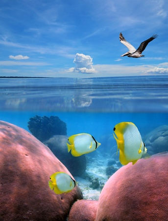 Calm sea with a pelican, and underwater, a coral reef with butterfly-fish