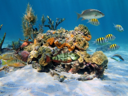 shoal: Hard corals with colorful tropical fish in the Caribbean sea