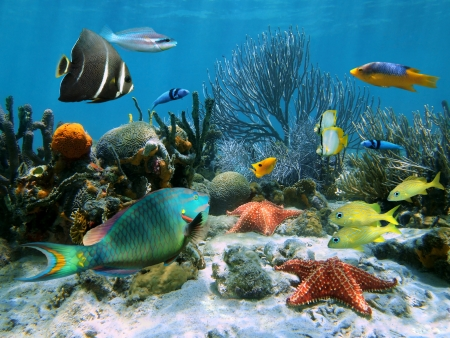 cushion sea star: Coral garden with starfish and colorful tropical fish, Caribbean sea