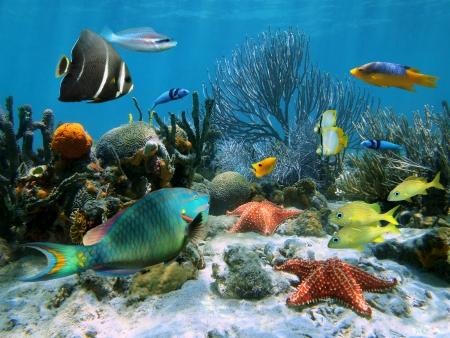 fondali marini: Giardino di corallo con stelle marine e pesci tropicali colorati, Mar dei Caraibi
