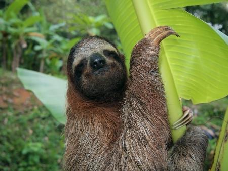sloth: Perezoso de tres dedos en un árbol de plátano, Costa Rica Foto de archivo