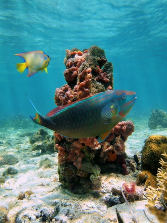 Underwater sealife in the Caribbean sea with a parrotfish and a column of sea sponges photo