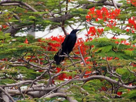 flamboyant: Groot-tailed Grackle in een flamboyant boom in bloei