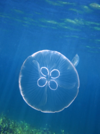 Moon jellyfish, Aurelia aurita in the Caribbean sea with water surface in background photo