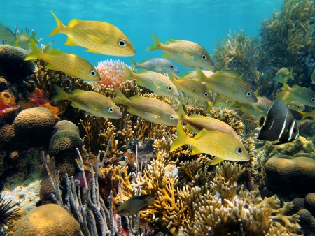 underwater life: School of grunt fish in a beautiful coral reef with an angelfish leading them