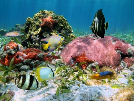 fondali marini: Coloratissimi pesci tropicali con stella marina in una barriera corallina, mare caraibico
